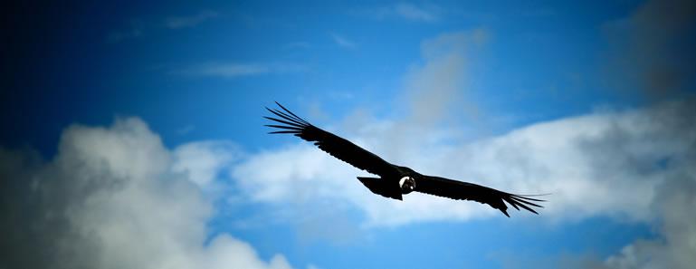 Condor in Arequipa